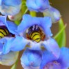 penstemon with yellow jackets