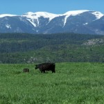 Cow calf and Greehnorn